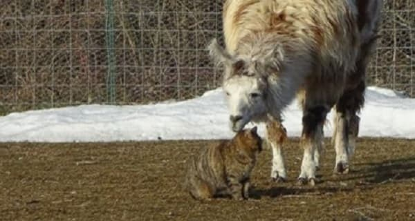 Llama and Cat Prove That True Friendship is Limitless!