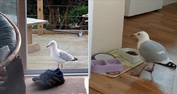 Cheeky Seagull Enters Home Every Day to Visit Pet Cat and Eat the Cat's Food! - VIDEO!