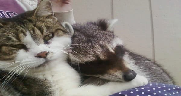 Cat Helps to Raise An Adorable Orphaned Raccoon!