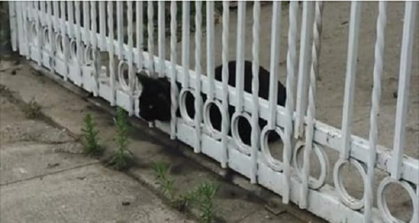 Cat Shot With BB Gun, Then Gets His Head Stuck in Wrought Iron Fence! – VIDEO!