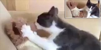 Smudge the Cat is Completely In Love ... With His Stuffed Teddy Bear! - VIDEO!