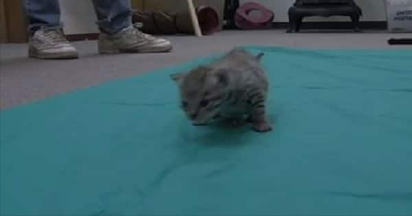 """UPDATE: The """"Exotic"""" Kitten Found in Indiana Barn Month – VIDEO!"""