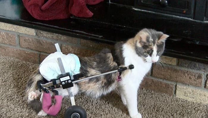 UPDATE – Fury, the Paralyzed Kitty, Settling in Well in Her Brand New Forever Home!