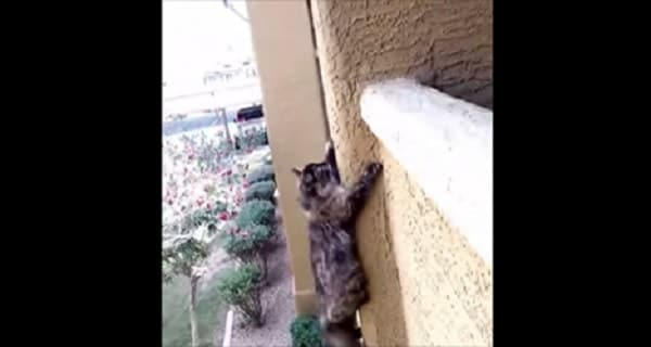 Spider Cat Scales Tall Building in a Single Bound! – VIDEO!