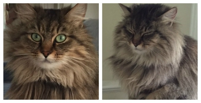 Tabitha, an Abandoned Maine Coon Campus Kitty in Virginia, Needs a Good Forever Home!