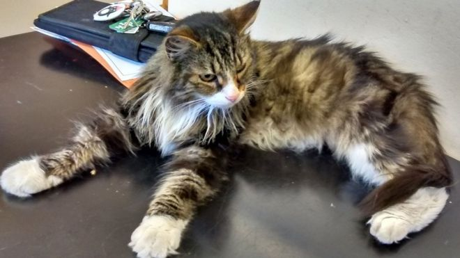 Missing Cat Buddy Found 150 Miles from Home!