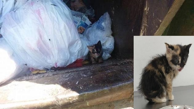 """Calico Kitten Found """"Thrown Out Like Trash"""" in Upper Darby!"""
