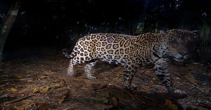 Spotted Cat Makes Gorgeous Appearance in Peru!