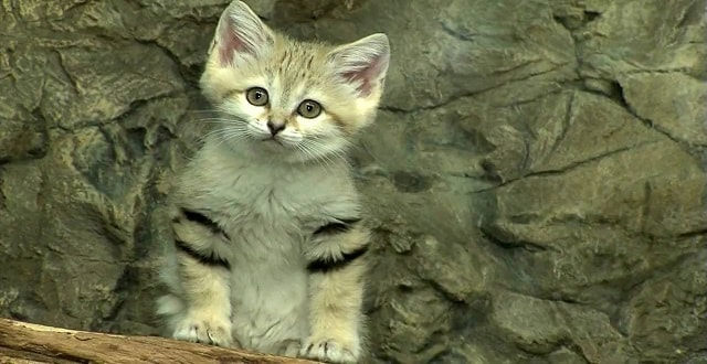 Anything and Everything You've Ever Wanted to Know About Sand Cats!