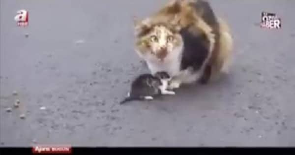 Cat Stopped Traffic To Protect Her Kitten! - VIDEO!
