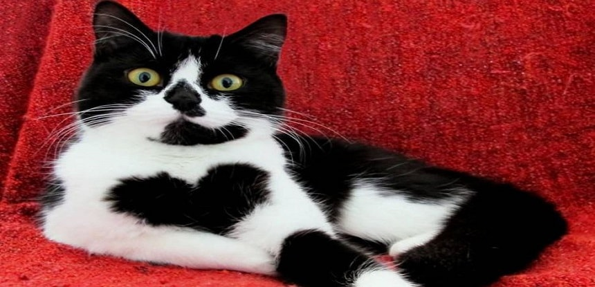 This Cat Has a Heart Print on Her Chest and It's the Sweetest Thing Ever
