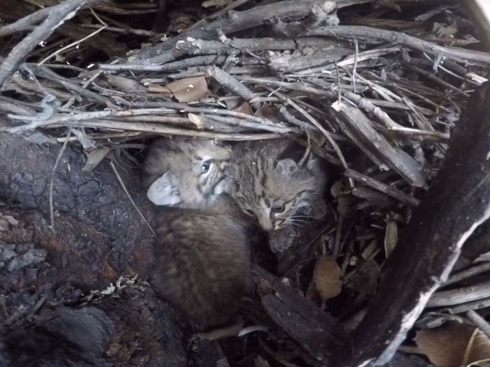 Bobcat Kittens are seen in Santa Monica Mountains, Calif., April 21, 2016.