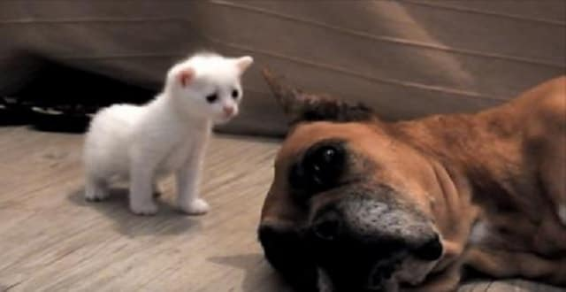 Formerly Abused Boxer Gets Rescued Then Helps Save Mama Cat and Her 4 Kittens! – VIDEO!