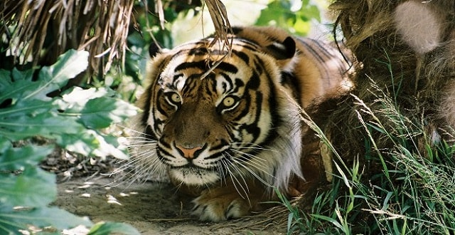Doctoral Cat Poop Studies Could Help Protect Native Birds and Sumatran tigers!