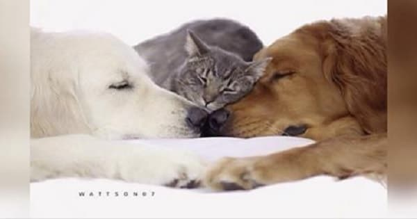 Two Dogs Can't Close Their Eyes Unless a Cat Falls Asleep in Their Arms! – VIDEO!