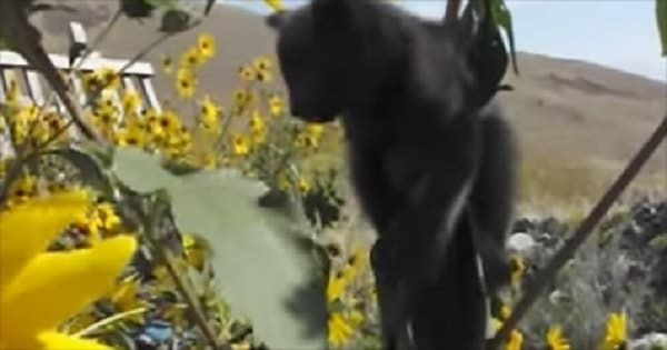 Watch a Kitten Get Rescued After Becoming Stuck in a Sunflower! – VIDEO!