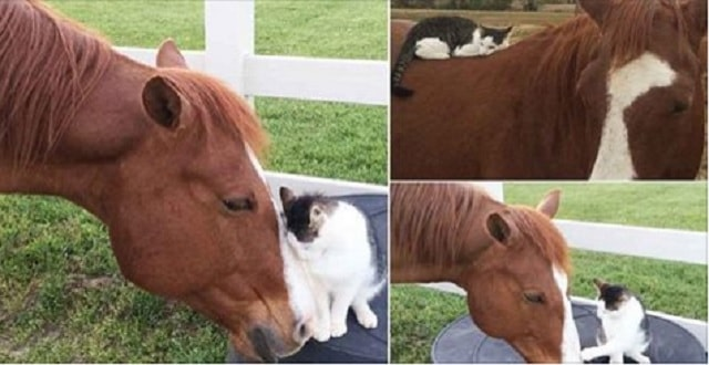 Sappy the Cat and Dakota the Horse are Completely Inseparable Buddies!