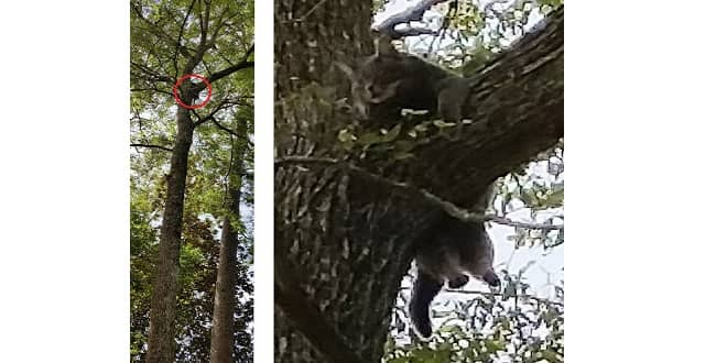 Teacher Saves A Kitten Who Was Stuck In A 50-Foot Tree For 11 Days! – VIDEO!