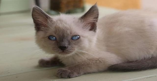 Small Siamese Kitten Saved from Being Fed to Pet Snake!