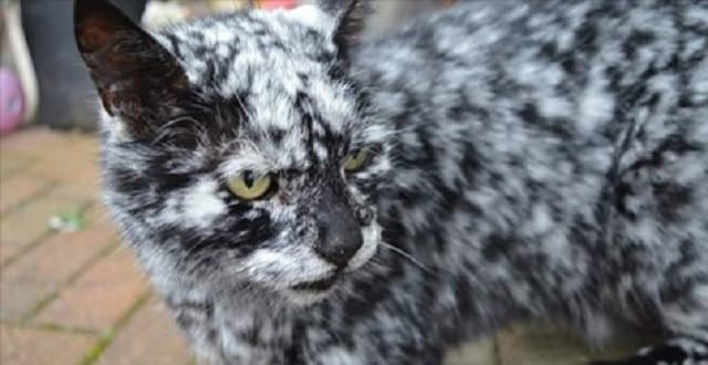 Rare Condition: Find Out Why This Black Cat Is Turning White!