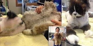 Homeless Cat Named Misty Was So Matted That When Her Coat Was Shaved Off ...