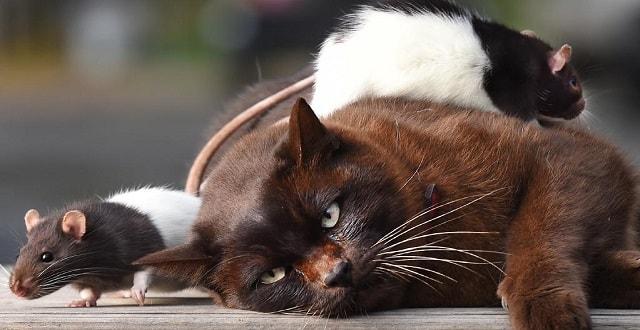 Cat and Rats Bond at Bendigo Mobile Animal Farm Animals 2 U!