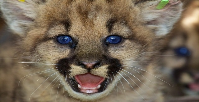Cute Mountain-lion Kittens Tagged and Photographed in Santa Susana Mountains!
