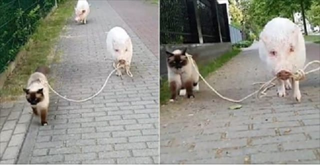 Hilarious Video Shows Moritz the Miniature Pig Take Leonardo the Cat for a Leisurely Walk on a Leash!