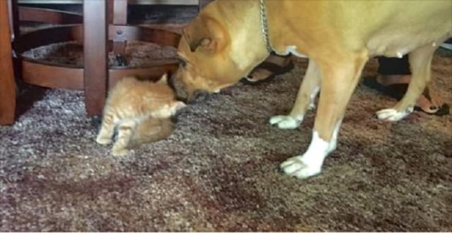 Pit Bull-Terrier Dog Takes Kitten Under Its Paw! – VIDEO!