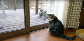 Maru the Cat Calmly Examines Monkeys As They Say Hello Then Steal a Sandal! - VIDEO!