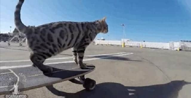 Boomer the Bengal Cat Skateboards Past Dogs, Leaving Them In the Dust! – VIDEO!