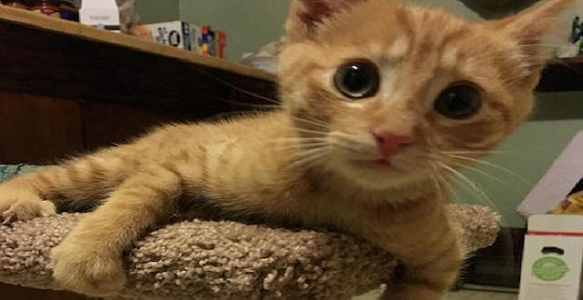 Ginger Cat Brought Her Injured Kitten To A Couple For Help!