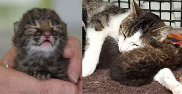 Mama Cat Nurses Abandoned Baby Bobcat!