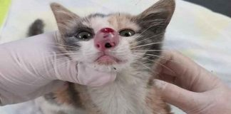 Agonizing Moment Massive Bug is Removed From Kitten's Nose! - VIDEO!