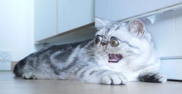 Herman the Cat With Enormous Eyes Becomes Internet Star!