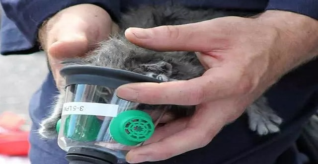 One of the weeks-old kittens was so small, even the special oxygen masks for animals fit over its head.