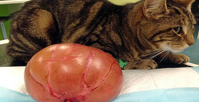 Shock Pictures Show Cat's Kidney Swollen to the Size of a Melon!