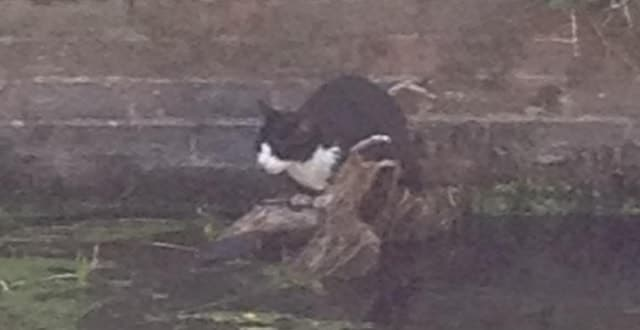 Dipper the Cat Rescued After Becoming Stranded on Log!