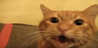 VIDEO: Precious Ginger Kitty Has a Lot To Say To His Mom When She Returns Home!