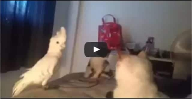 Cunning Cockatoo Pretends to be a Cat, Just Wants to Make Friends! - VIDEO!