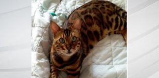 Bengal Cat, Named 'Thor', Knows Just How Good-looking He Is!