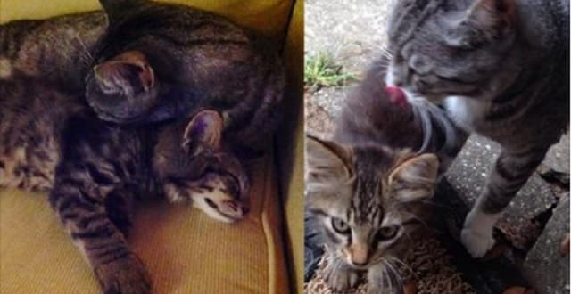 You Won't Believe What Their Kitty Brought Home – A Kitten Friend!