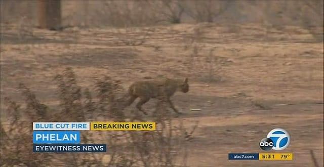 Cat Survives Blue Cut Fire in California!