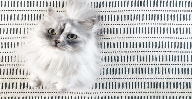 Behold the Beauty of Alice – the Persian Mix Cat with the Most Gorgeous Marble Fur!