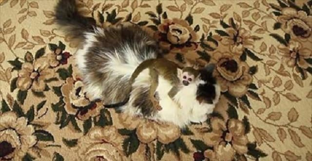 Cat Adopts Baby Squirrel Monkey!