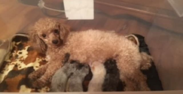 Poodle Plays Mom for 4 Tiny Kittens!