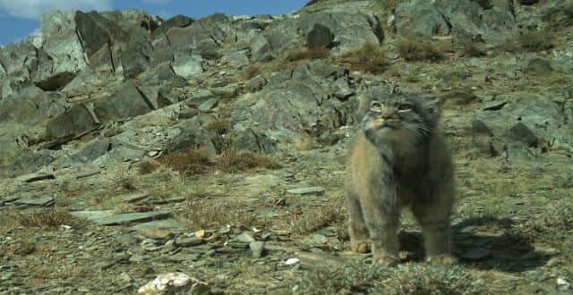 New, Rare Footage of Pallas's Cat Cubs!