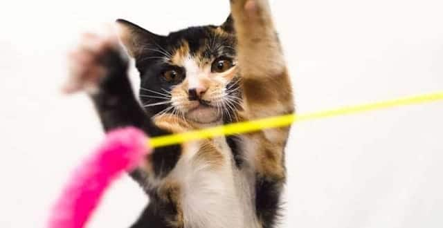 Sherman the cat has two X chromosomes, which is what makes his fur calico-colored. (Photo: Humane Society Silicon Valley)