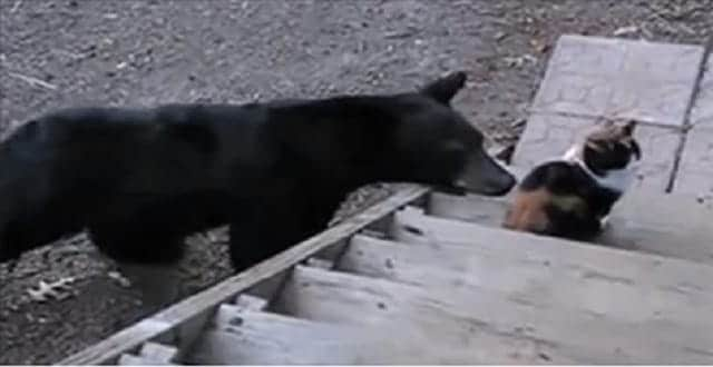 Family Cat Sasses Bear Out Of The Yard!