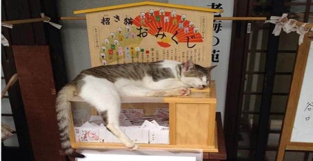 Beckoning Cat Fortunes Lure Stray Kitten Who Becomes Guardian of the Box at Cat Temple in Japan!